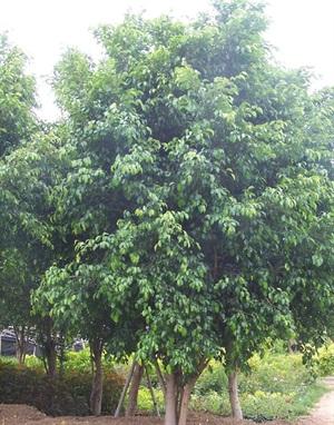 四川信和園林景觀提供各種綠化工程所需的喬灌木 基地直銷